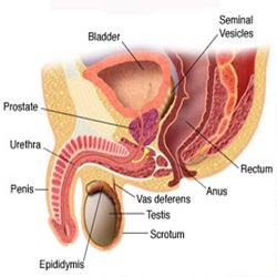 prostate-anatomy2